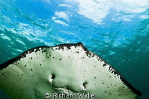 """Smooth Ray Smile"". Was free diving with this beautiful c... by Richard Wylie"